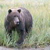 Alaska Brown  Bear Sow