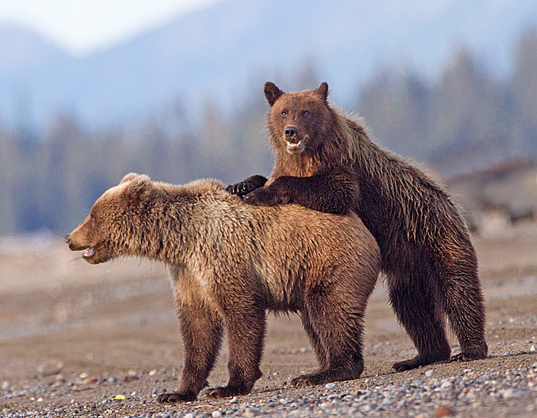 Grizzly Cubs Playing on Beach