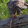 Bald Eagle Immature Eating a Fish