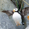 Horned Puffin Flapping Wings