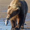 Grizzly Bear Walking Along Seashore  with Fish Head in Mouth