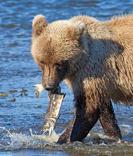 Cub with a Dead Salmon
