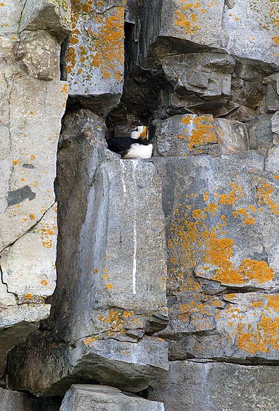 Horned Puffin in Cavity Nest