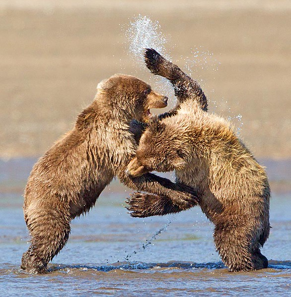 Grizzly Cubs Play Fighting