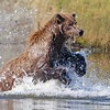 Grizzly Charging Through Creek