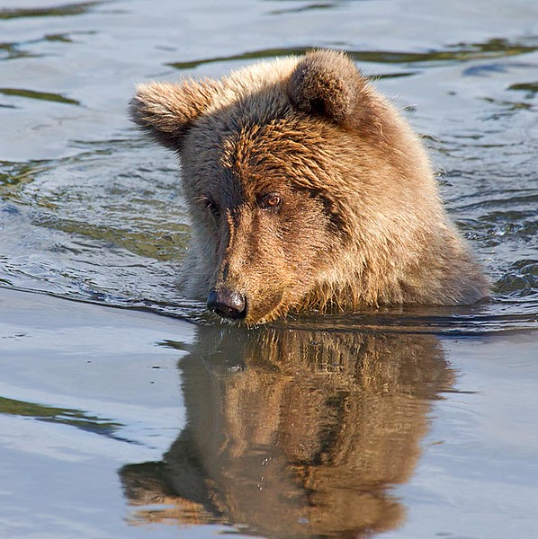 Grizzly Siting in Creek with only Head out of Water