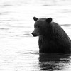 Grizzly Siting up in Ocean B&W