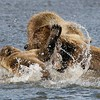 Grizzly Second Year Cub Play Fighting with Sow