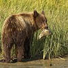 Grizzly Second Year Cub with Dead Salmon