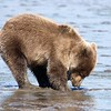 Grizzly Second Year Cub Clamming