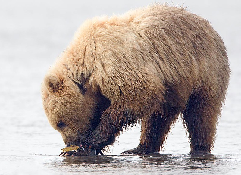 This bear uses the top of her foot as a table on which to eat the Clam