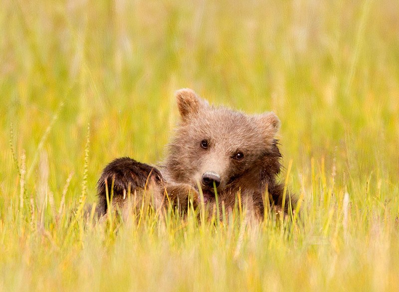 Alaskan Brown Bear Cub