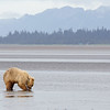 Grizzly Claming on Tidal Flats/Tide goes out about 1/4 mile at Low Tide and the Bears go out and dig for Razor Clams
