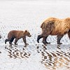 Sow & Cubs on Tidal FLats Reflection