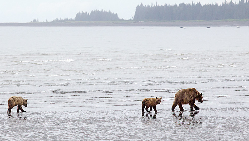Sow and Cubs on Tidal Flats