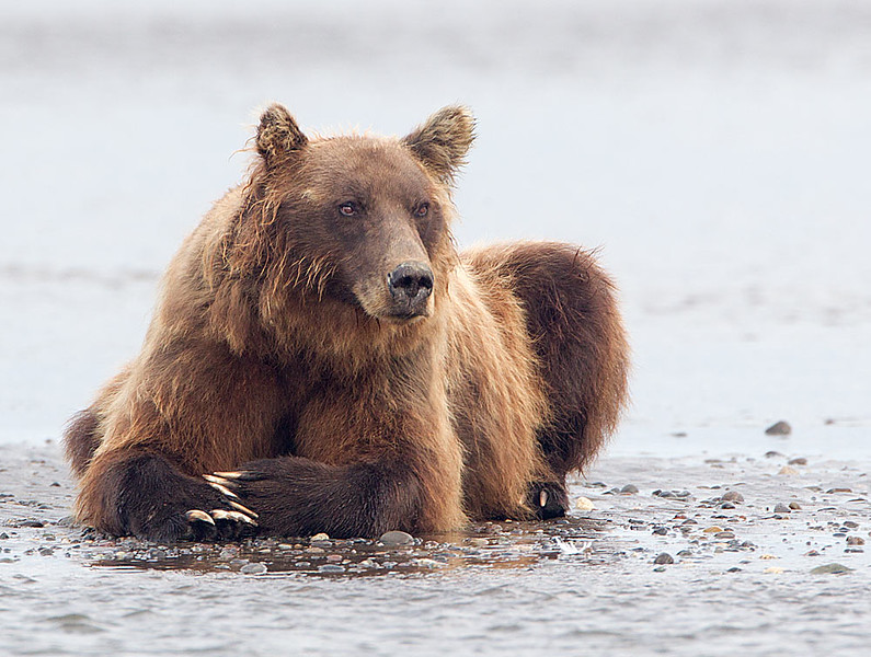 Old Boar Waiting for the Salmon Run