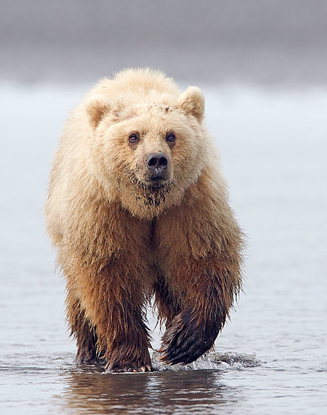 Blonde Grizzly