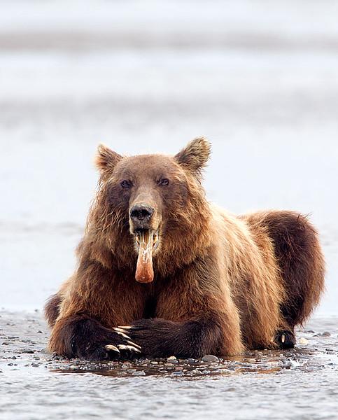 Old Boar Yawning