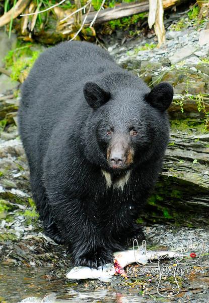 Alaskan Bears