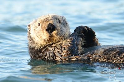 Sea Otter, Cordova, AK