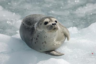 Harbor Seal, Whittier, AK