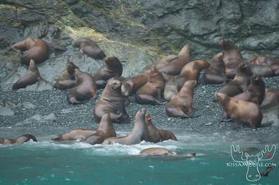 Stellar Sea Lions, Near Valdez, AK