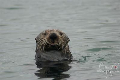 Sea Otter www.kissamoose.com