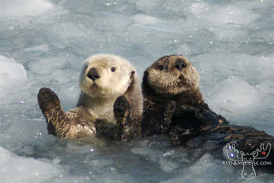 Sea Otters, Whittier, Alaska