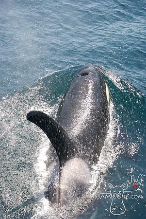 Killer Whale, Seward, AK