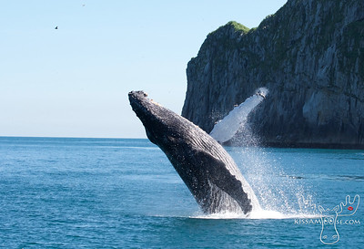 Humpback Whale, Kenai Fjords National Park