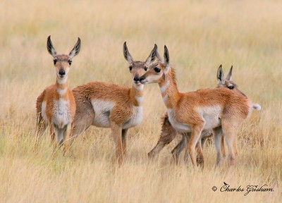 First year Antelopes in southwest Texas near the Davis Mountains. Taken with the 400d using the Canon 70-300 IS lens.