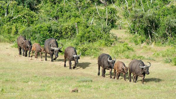 African Buffalo, Addo Elephant NP, EC, SA, Dec 2013-1