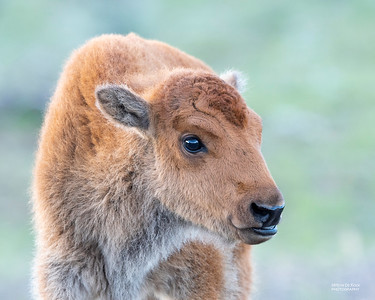 Bison calf, Yellowstone NP, WY, USA May 2018-1