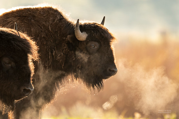 Bison, Yellowstone NP, WY, USA May 2018-7