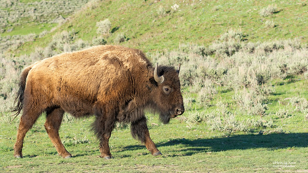 Bison, Yellowstone NP, WY, USA May 2018-2