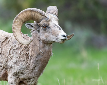 Bighorn Sheep, Yellowstone NP, WY, USA May 2018-1