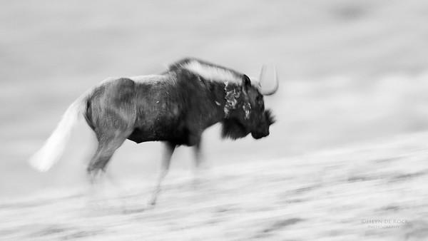 Black Wildebeest, b&w, Goldengate NP, FS, SA, Oct 2016-2