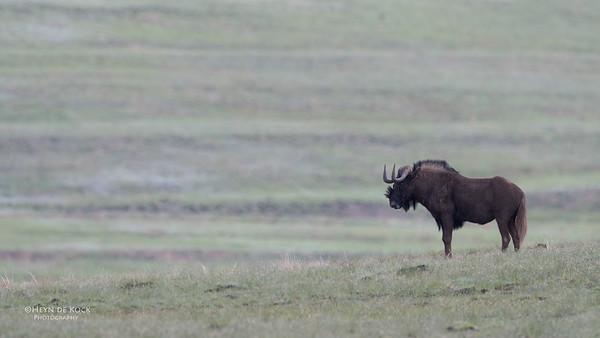 Black Wildebeest, Goldengate NP, FS, SA, Oct 2016-5