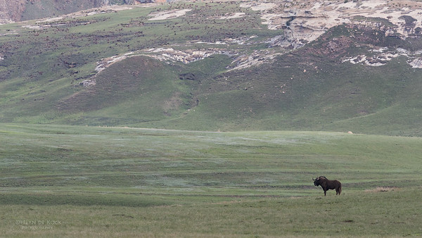 Black Wildebeest, Goldengate NP, FS, SA, Oct 2016-1