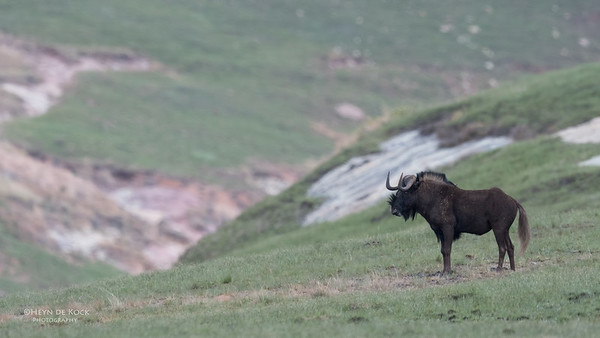 Black Wildebeest, Goldengate NP, FS, SA, Oct 2016-4