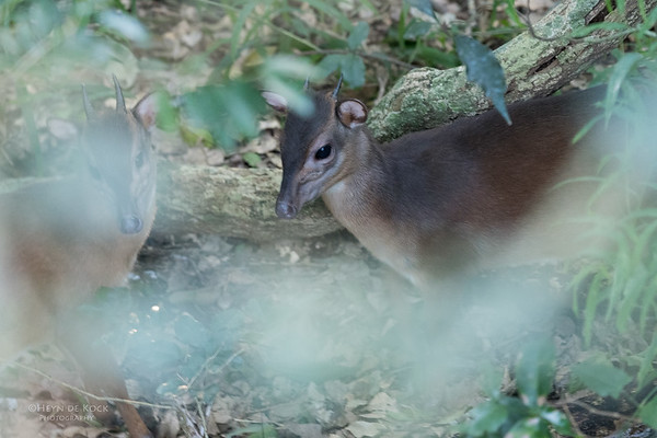 Blue Duiker, Eshowe, South Africa, May 2017-1