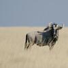 Blue Wildebeest, Etosha NP, Namibia, July 2011