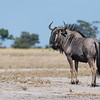 Blue Wildebeest, Savuti, Chobe NP, Botswana, May 2017-1