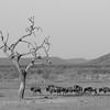 Blue Wildebeest, Madikwe GR (Imp), SA, Sept 2015 b&w