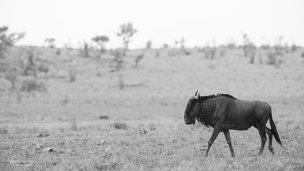 Blue Wildebeest, Pilansberg National Park, SA, Dec 2013-1bw