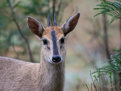 Common Duiker, Crystal Springs, MP, SA, Sept 2015-1