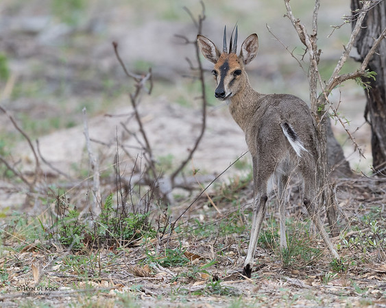 Common Duiker, Sabi Sands (EP), SA, Oct 2016-1