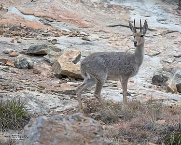 Grey Rhebok, Goldengate NP, FS, SA, Oct 2016-2