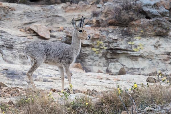 Grey Rhebok, Goldengate NP, FS, SA, Oct 2016-3