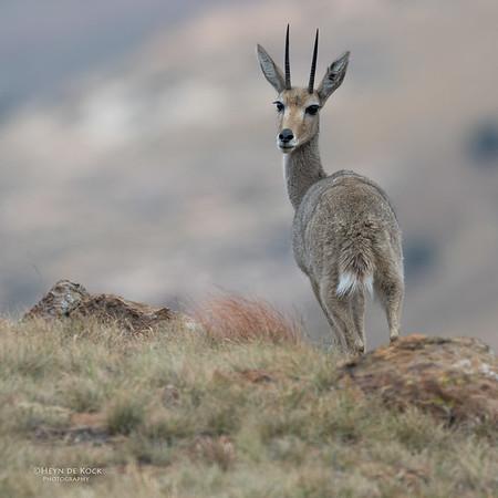 Grey Rhebok, Goldengate NP, FS, SA, Oct 2016-4